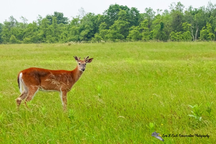 White-tailed deer buck standing in Big Meadows and growing its antlers at Shenandoah National Park in Virginia.