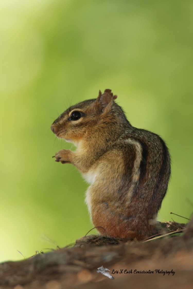 Eastern chipmunk standing on the ground on its back legs and pausing before returning to searching for food under a tree at North Chagrin Reservation in Cleveland, Ohio.