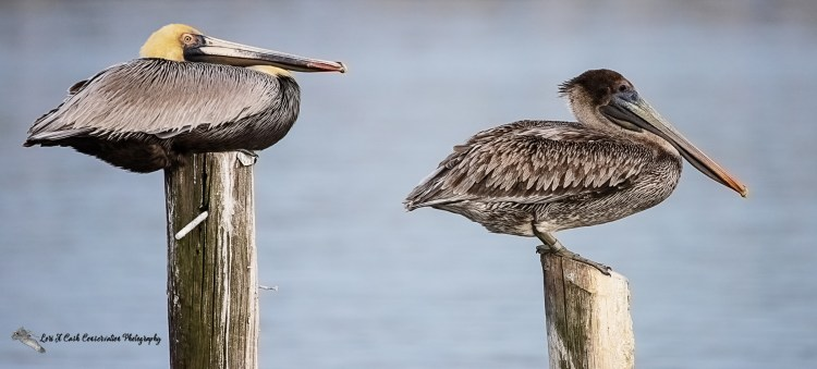 An adult and an immature brown pelicans resting on posts in the water at Mill Creek in Hampton, Virginia.