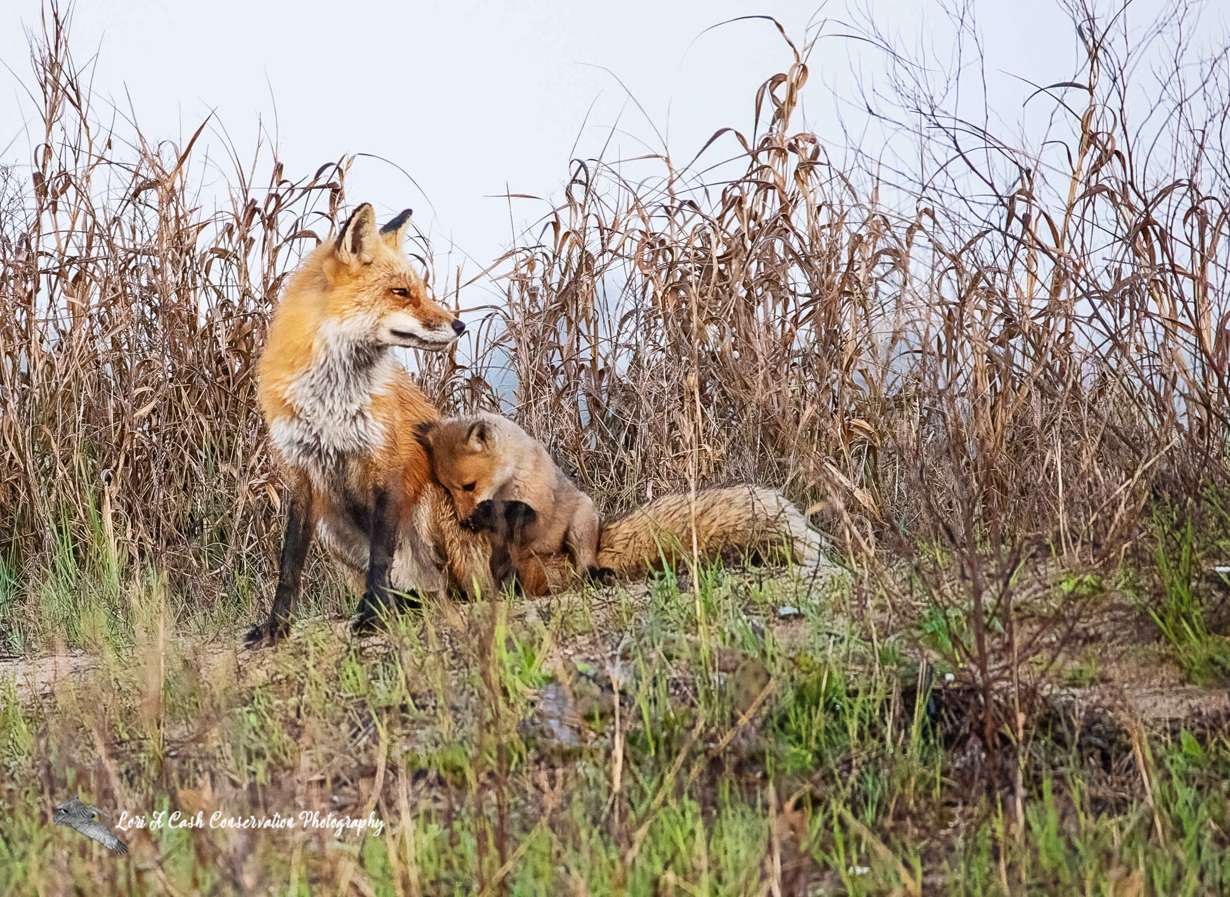 Red fox (Vulpes vulpes) vixen and pup near their den on an early morning spring day at Fort Monroe National Monument in Hampton, Virginia.