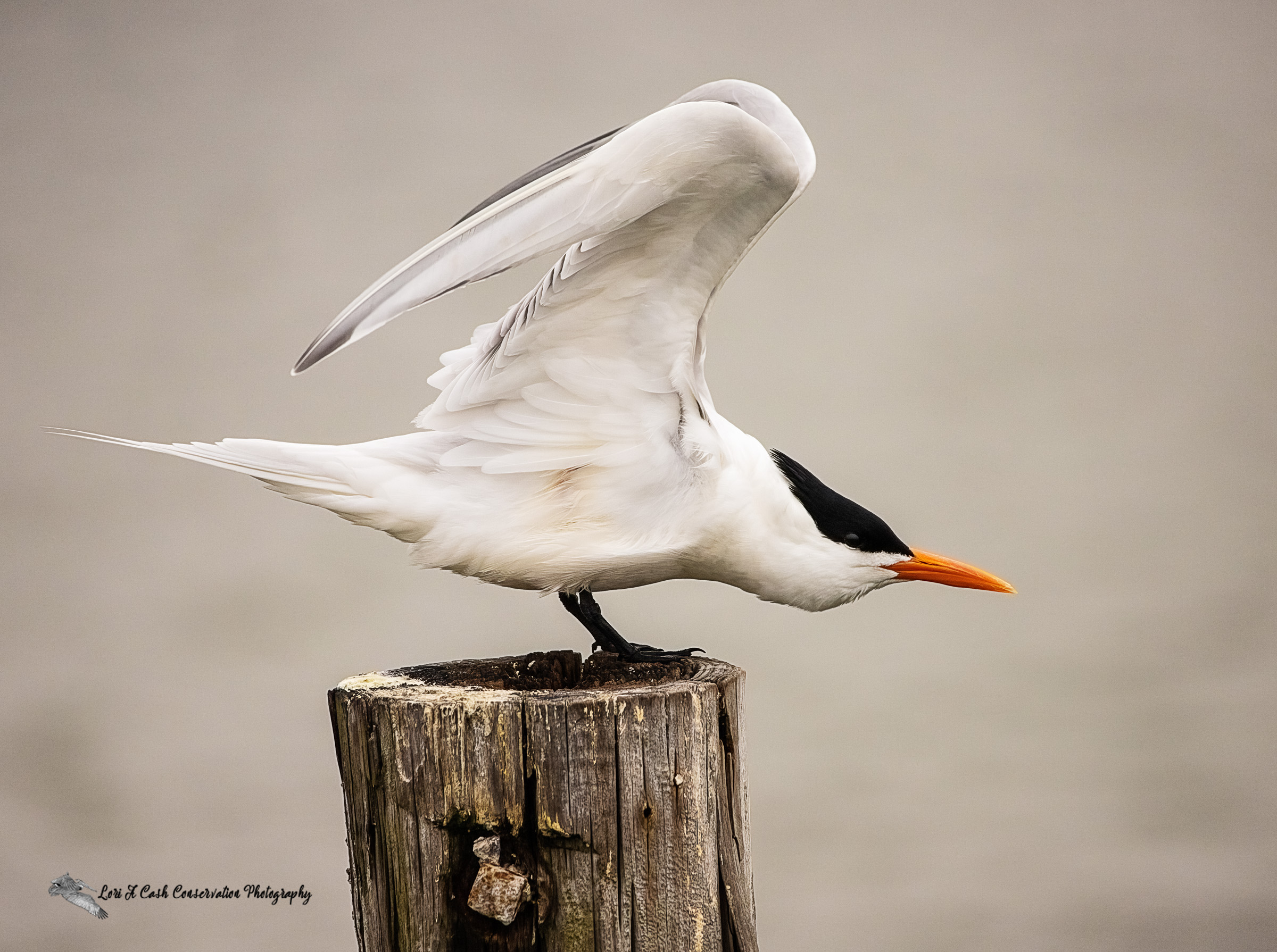 Royal tern (Thalasseus maximus) beginning to stretch its wing while standing on a post at Phoebus Waterfront Park in Hampton, Virginia.