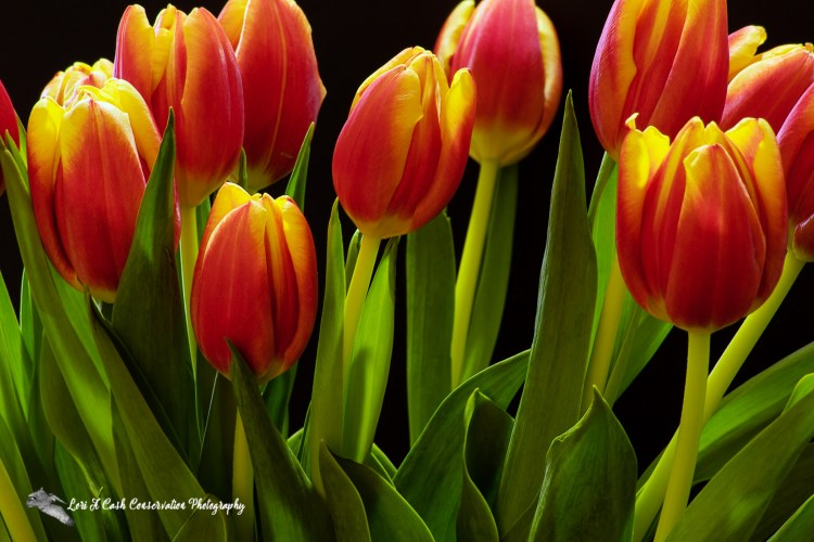 Bouquet of red orange and yellow tulips.