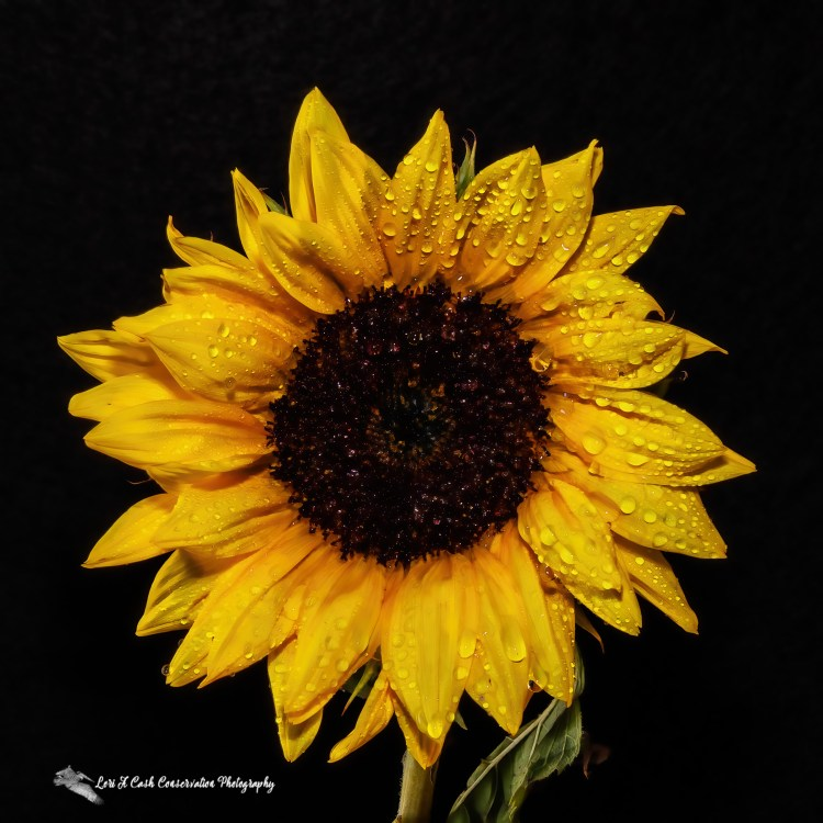 Close up of sunflower head with water droplets and black background.