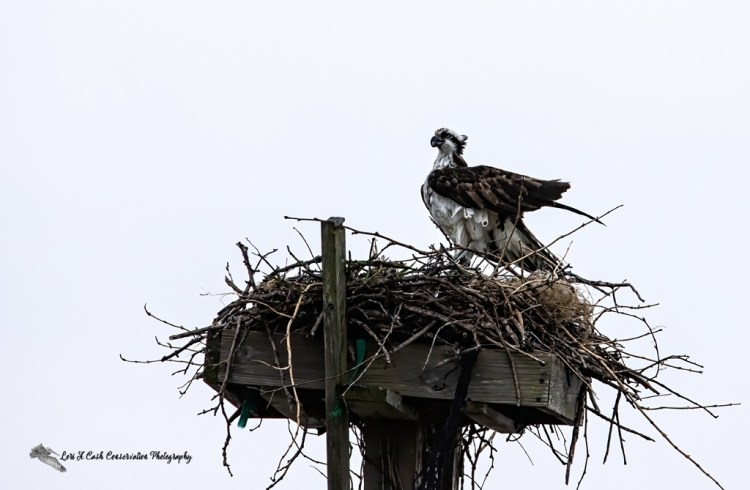 Osprey (Pandion haliaetus) calling its mate from their nest along Mill Creek at Fort Monroe in Hampton, Virginia.