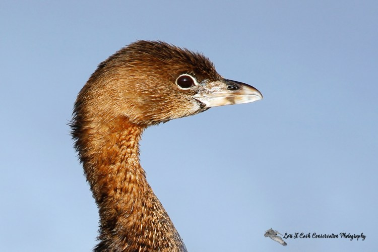 Pied-billed grebe (Podilymbus podiceps) side profile at the beach at Nags Head on the Outer Banks of North Carolina.