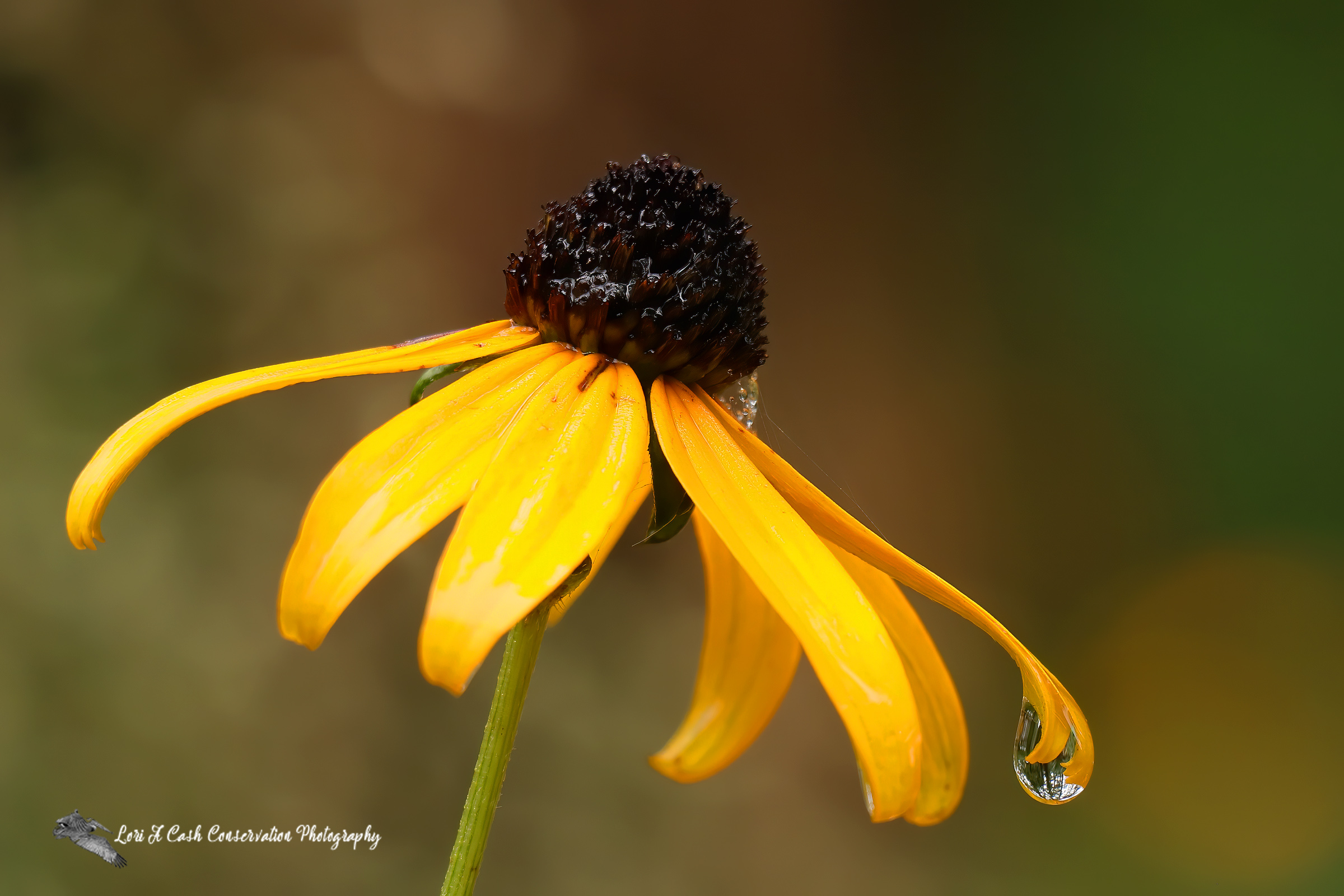 Black-eyed Susan with raindrop after a spring morning rain at First Landing State Park in Virginia Beach, Virginia.