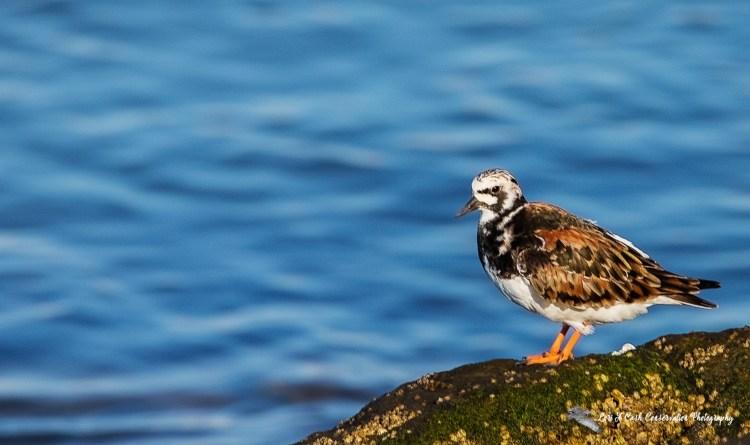 Ruddy turnstone in breeding plumage standing on the rocky shoreline at Fort Monroe in Hampton, Virginia.