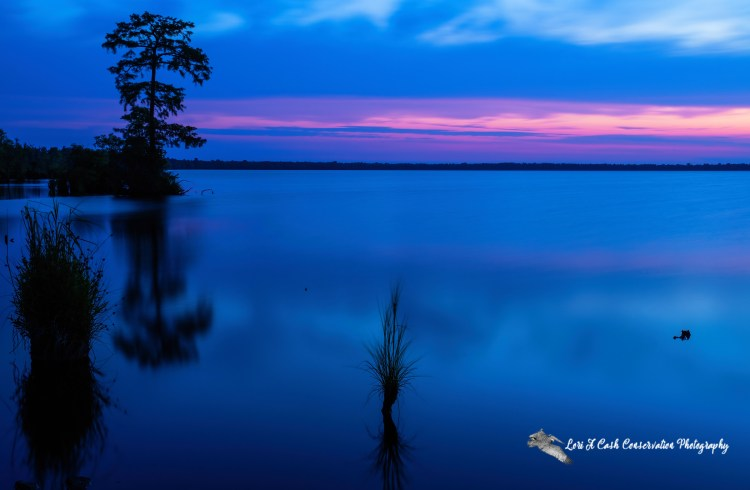 Lake Drummond at the blue hour of twilight during the Summer Solstice at the Great Dismal Swamp National Wildlife Refuge in Suffolk, Virginia.