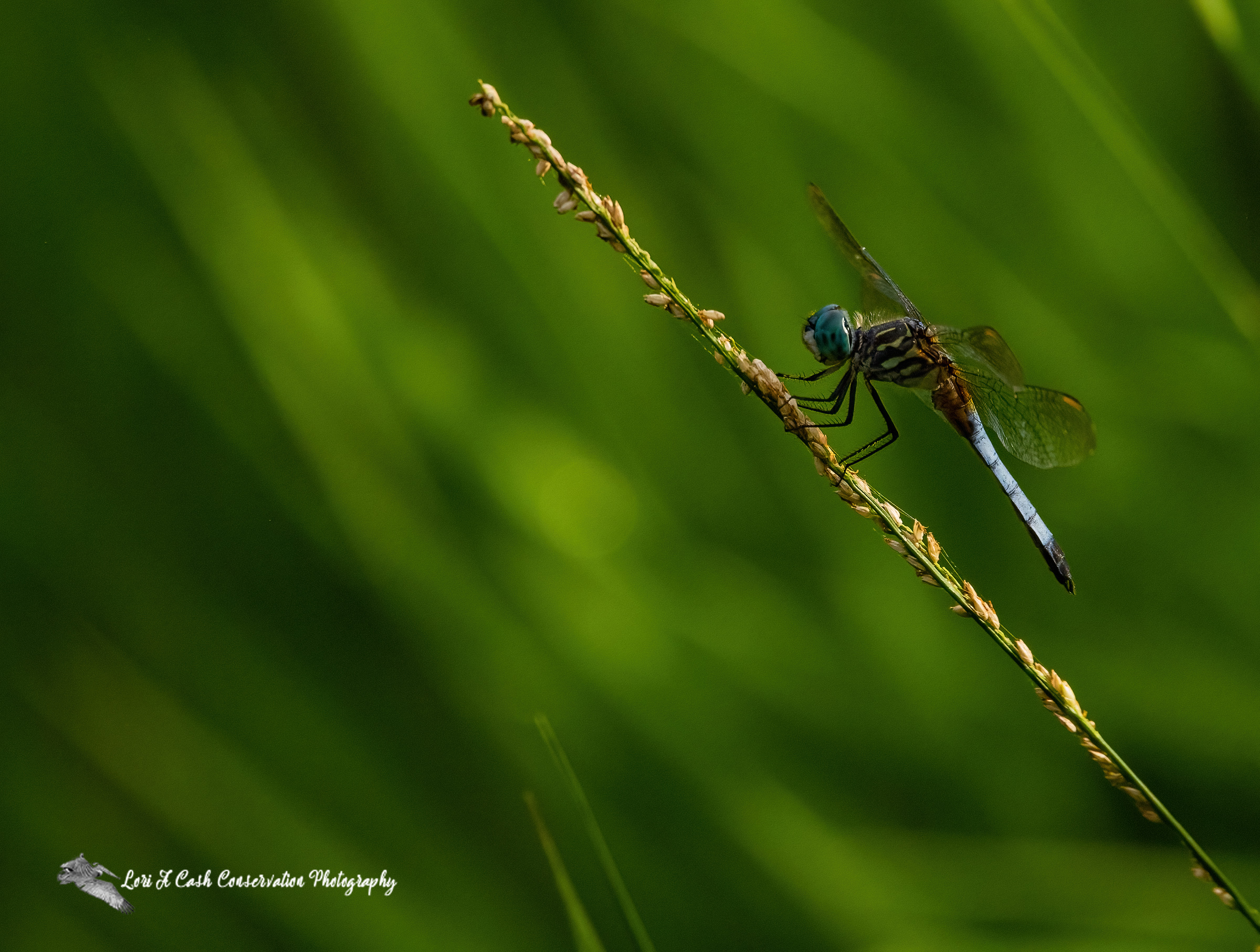 Blue dasher dragonfly (Pachydiplax longipennis) resting on the grasses at Great Dismal Swamp National Wildlife Refuge in Suffolk, Virginia.