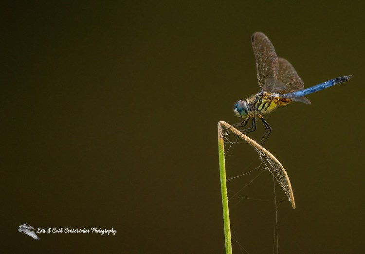 Blue dasher dragonfly resting on a blade of grass at Great Dismal Swamp National Wildlife Refuge in Suffolk, Virginia.