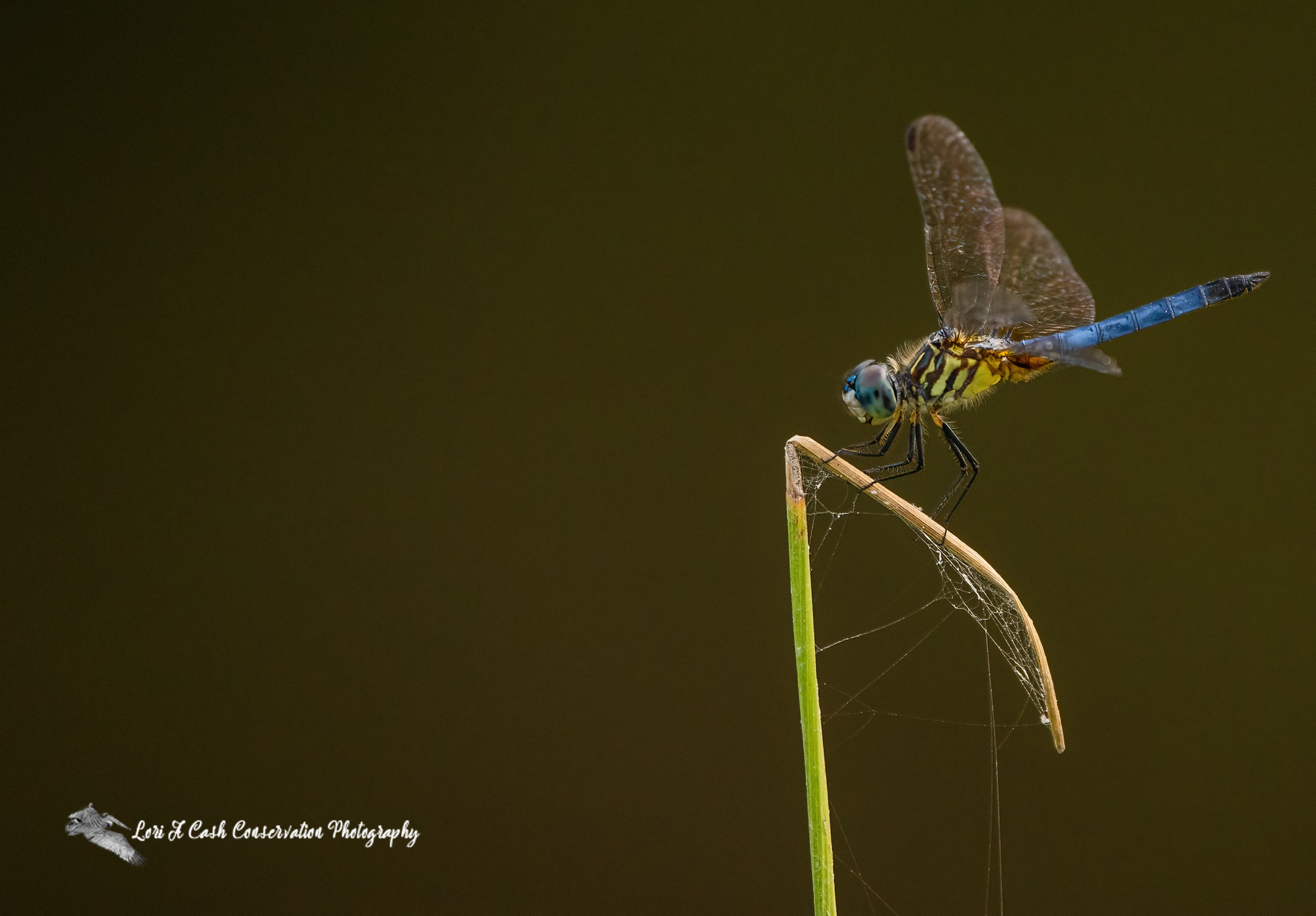 Blue dasher dragonfly resting on a blade of grass at the Great Dismal Swamp National Wildlife Refuge in Suffolk, Virginia.
