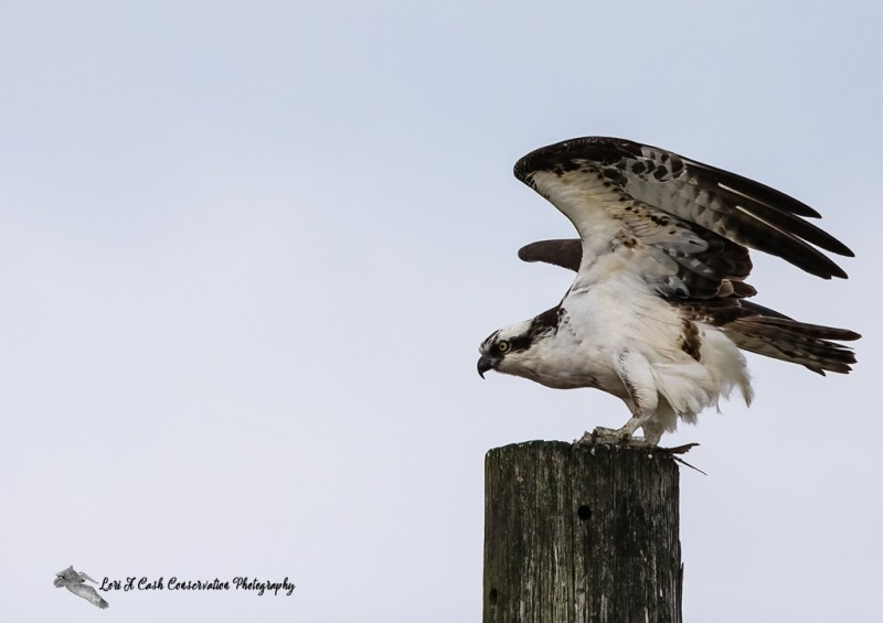 An osprey with a half eaten fish is about to take flight from a post at Fort Monroe in Hampton, Virginia.