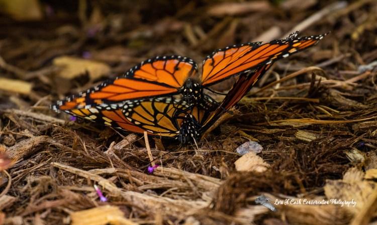 Pair of monarch butterflies (Danaus plexippus) mating on mulch in the butterfly house at the Norfolk Botanical Garden in Norfolk, Virginia.