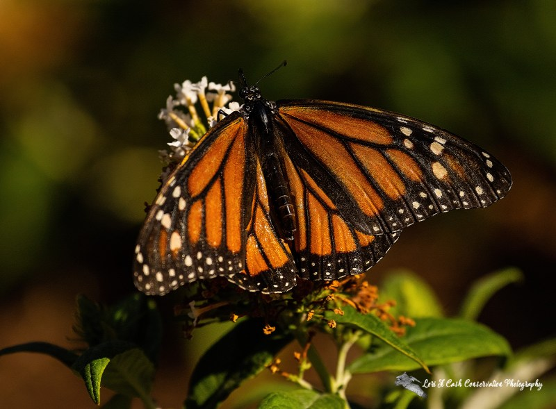 Monarch butterfly (Danaus plexippus) with wings spread out on flower showing veins and markings.