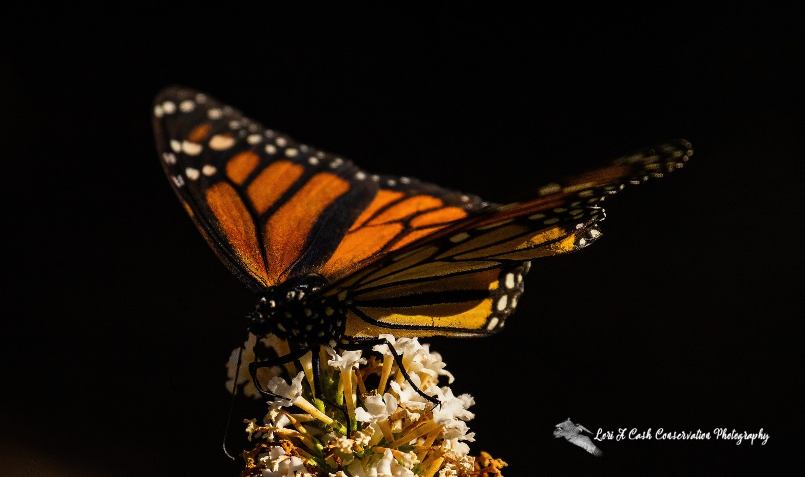 Monarch Monarch butterfly (Danaus plexippus) feeding on flower as the monarch butterfly is in decline and there are ways to protect the monarch butterfly