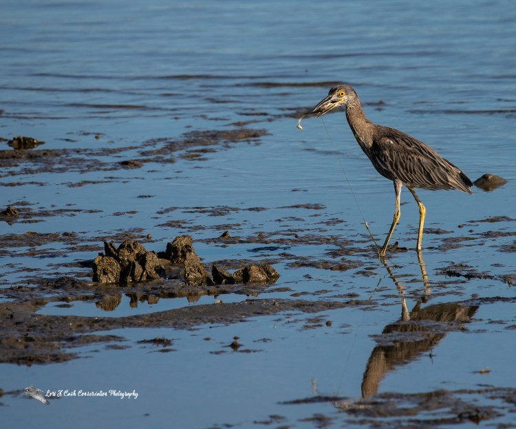 Juvenile yellow-crowned night heron (Nyctanassa violacea) walking in the water at low tide in Mill Creek with a fishing lure in the heron's mouth and fishing line attached to lure at Fort Monroe in Hampton, Virginia.
