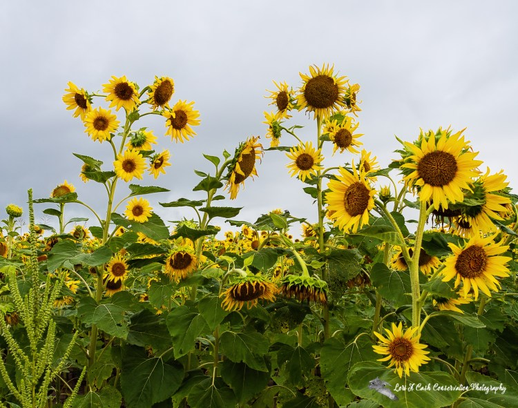 Sunflowers in bloom on a cloudy summer morning in Crittenden County, Arkansas.