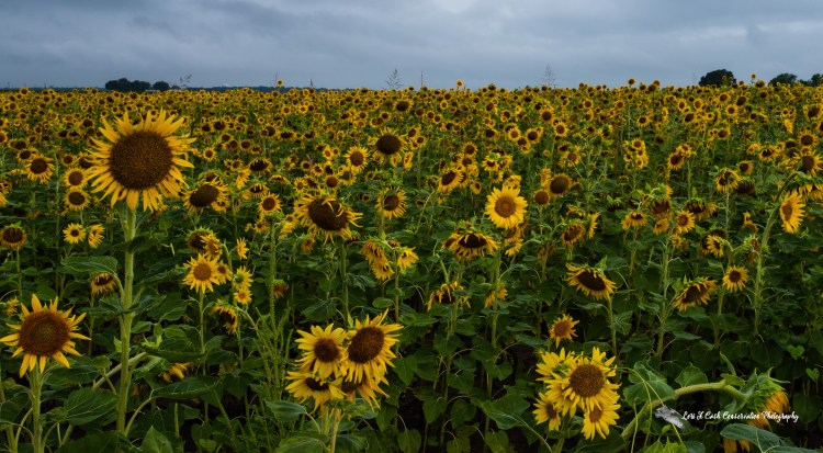 Agriculture sunflower field on a summer morning in Crittenden County, Arkansas.