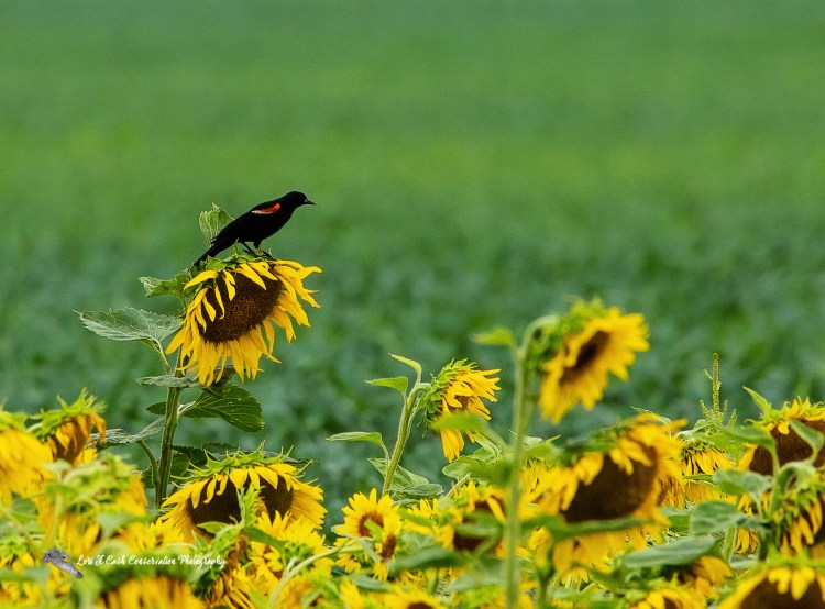 Red-winged blackbird (Agelaius phoeniceus) sitting on a sunflower in a sunflower field on an early summer morning in Crittenden County, Arkansas.