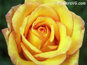 LORIE ANN JERMOUNE-2-4-2014- tUESDAY- a YELLOW ROSE REMINDING ME THAT i HAVE MANY FRIENDS THAT READ AND i APPRECIATE YOUR KIND WORDS AND GENTLE WHISPERS OF ENCOURAGEMENT. LORIE ANN JERMOUNE