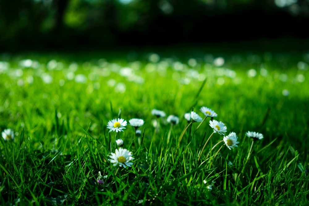 white daisy on grass field