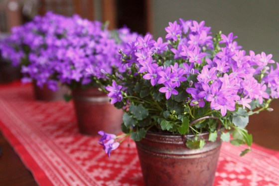 Campanula, Flowers, Home Dec