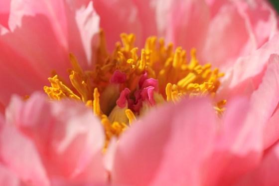 Coral Peonies, Gardening, Minnesota