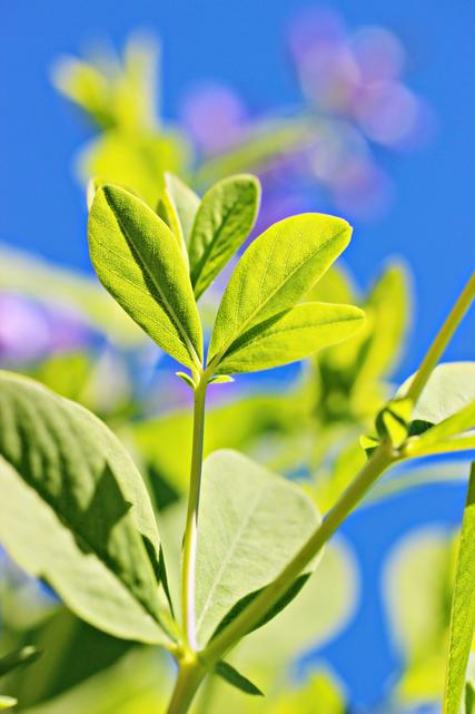 Garden, Baptisia australis, False indigo