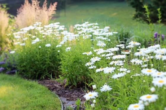 Daisies, Photography, Garden