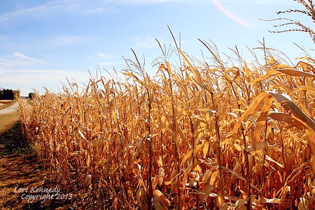 Minnesota Corn Field
