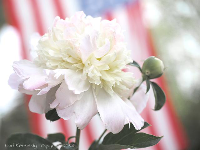 Peony, American Flag