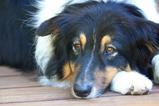 Ruby, Australian Shepherd