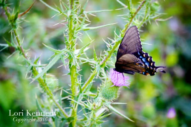 Butterfly, Thistle, Photography, Lori Kennedy