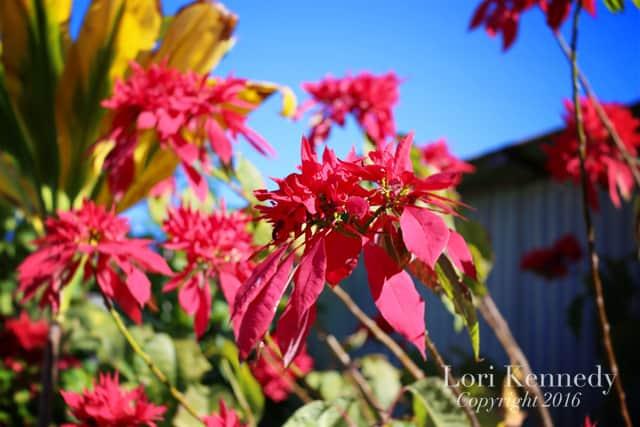 Poinsettias, Photography