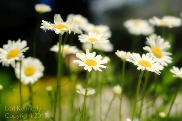 Daisies, Lori Kennedy