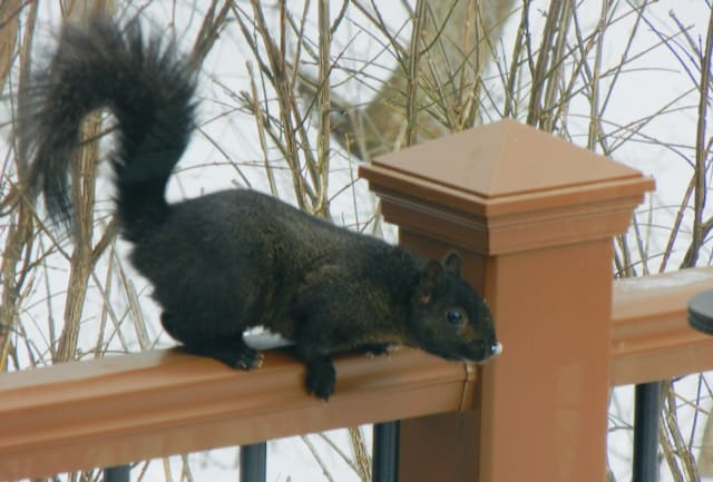 black squirrel on the deck railing