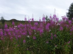Purple Loosestrife and Himalayan Balsam