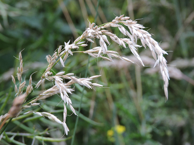 Looks-like-barley