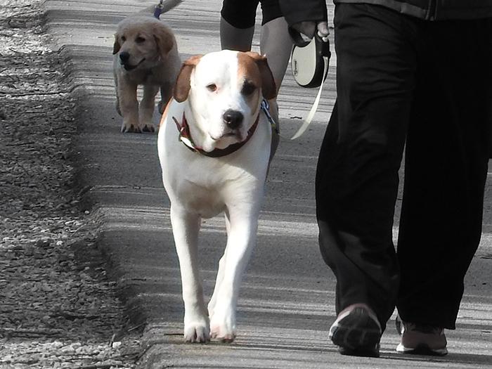 dogs walking people