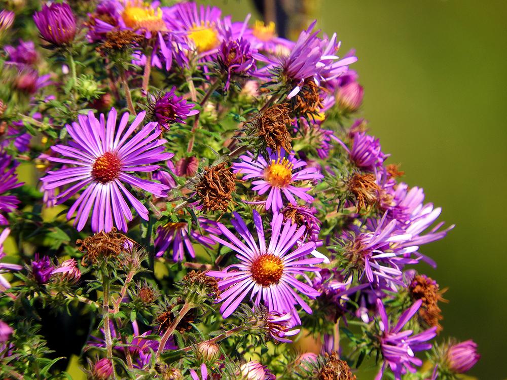 purple-flowers-at-dusk