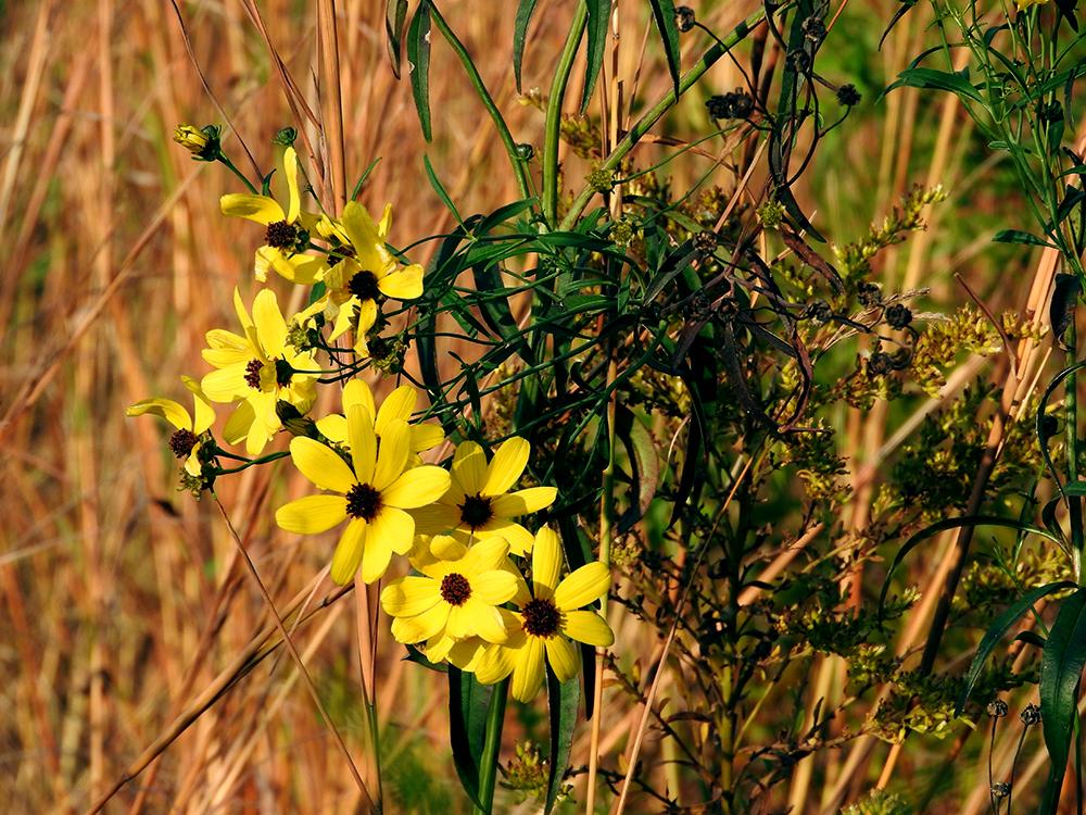 november-flower