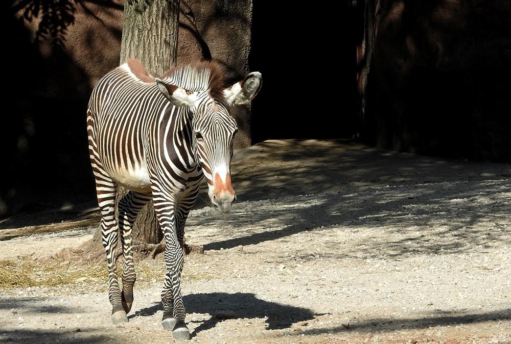 Little Striped Pony