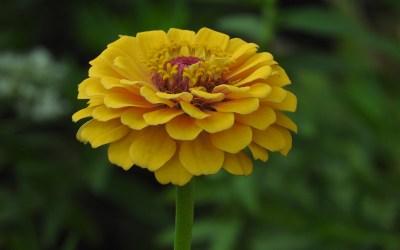Yellow Flower Pink Center
