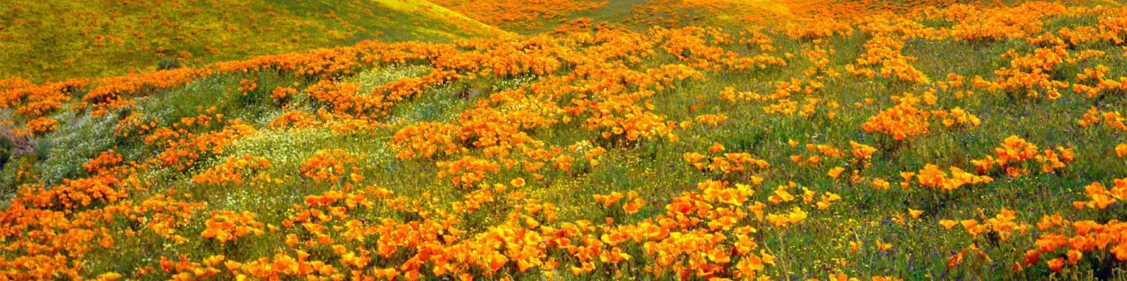 antelope valley bankruptcy poppies