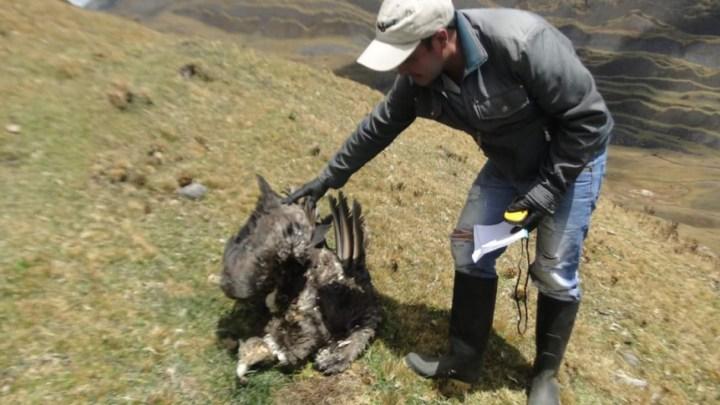 Encuentran un cóndor muerto en el páramo del Almorzadero