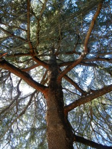114 Deodar Trees Los Angeles Love Affair