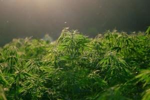 Cannabis piante