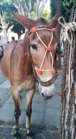 Romería de los Burros - San Benito Abad- La Laguna 2015 (16)