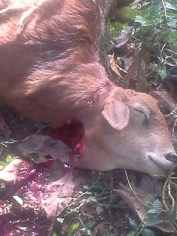 Kill the goat!!!! Tibs and