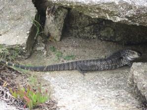 Y también tuvimos una visita de un super-lagarto. Aunque pensándolo bien, quizás éramos nosotros los visitantes!